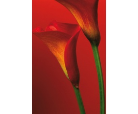 Fototapety Red Calla Lilies F406